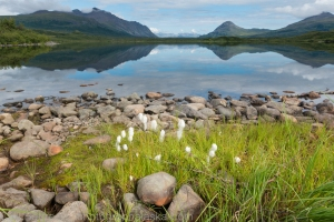 Cotton Grass and Round Tangle Lake.