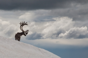 A large bull caribou of the Nelchina herd. This image was taken in 2006, in the Delta Mountains.