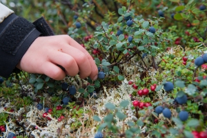 my son picks blue berries. Lots of records were set in 2013, the most months with snow on the ground, the warmest summer on record and possibly the best blue berry season ever.