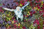 Skull and fall colors, eastern Alaska Range