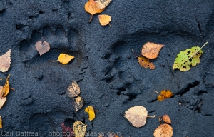 Fall leaves and bear tracks, Chugach State Park, Alaska. The perfect subject for a rainy day.