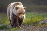 Determined! Grizzly, Denali National Park and Preserve