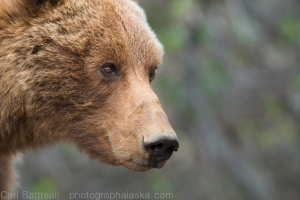 Grizzly head shot. An impossible shot in the remote wilderness.