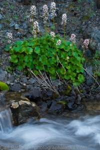 Bear Flowers and Stream, Clearwater Mountains
